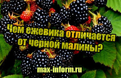фото Чем ежевика отличается от черной малины