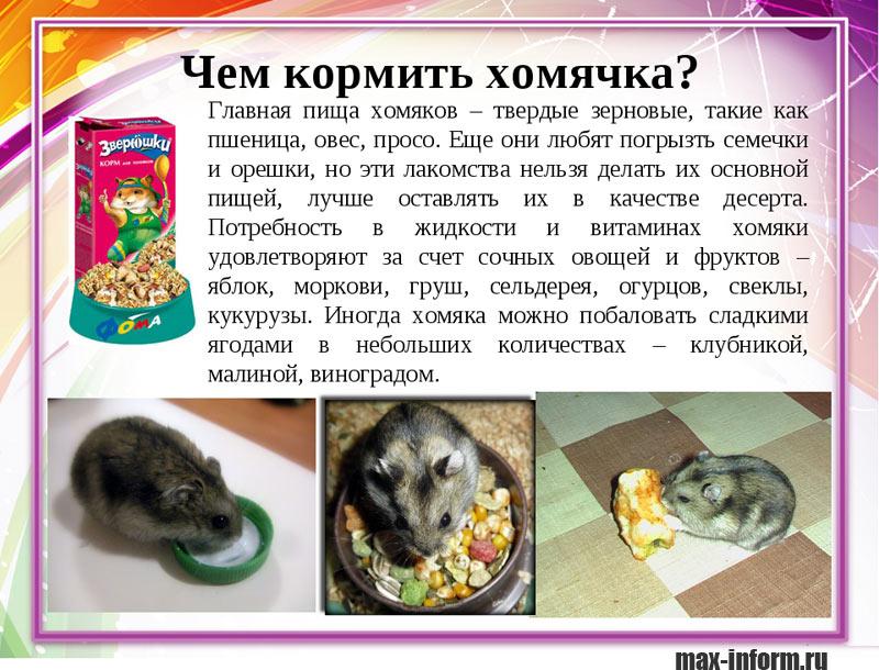 инфографика Чем кормить хомячка