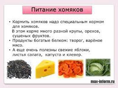 инфографика Питание хомячков