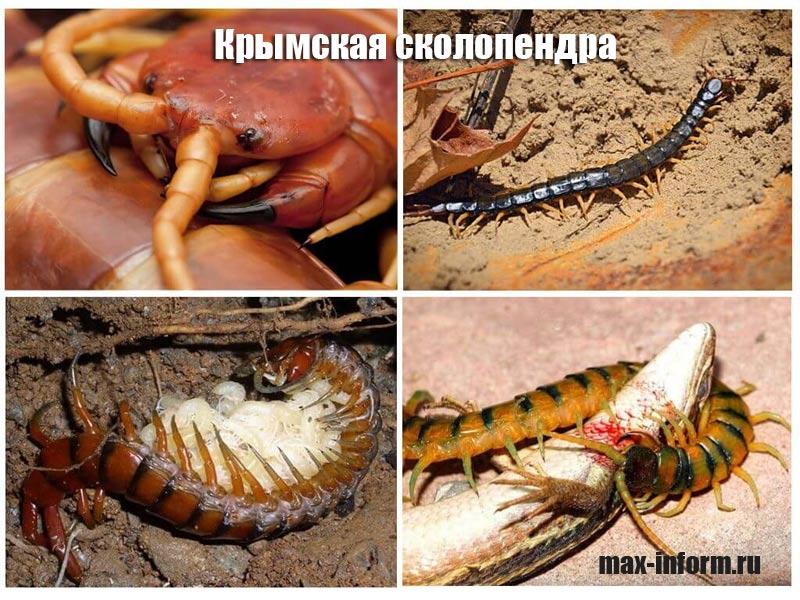 фото крымская сколопендра